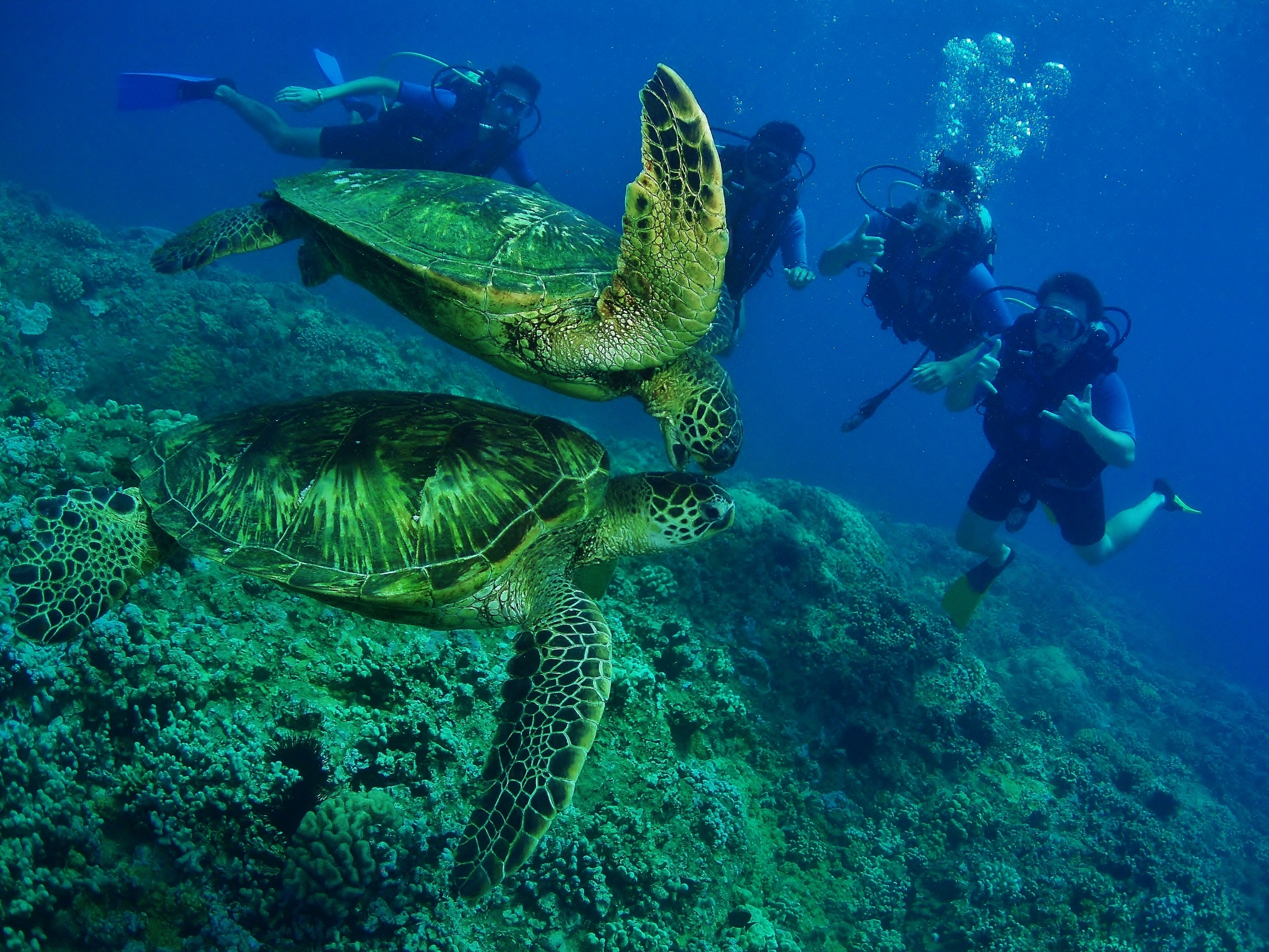 Scuba Divers and Green Sea Turtles at Honokowai Beach with Tiny Bubbles Scuba
