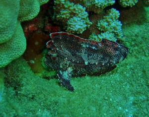 Leaf Scorpionfish with Tiny Bubbles Scuba