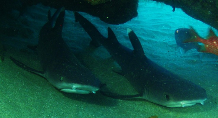 White Tip Reef Sharks …