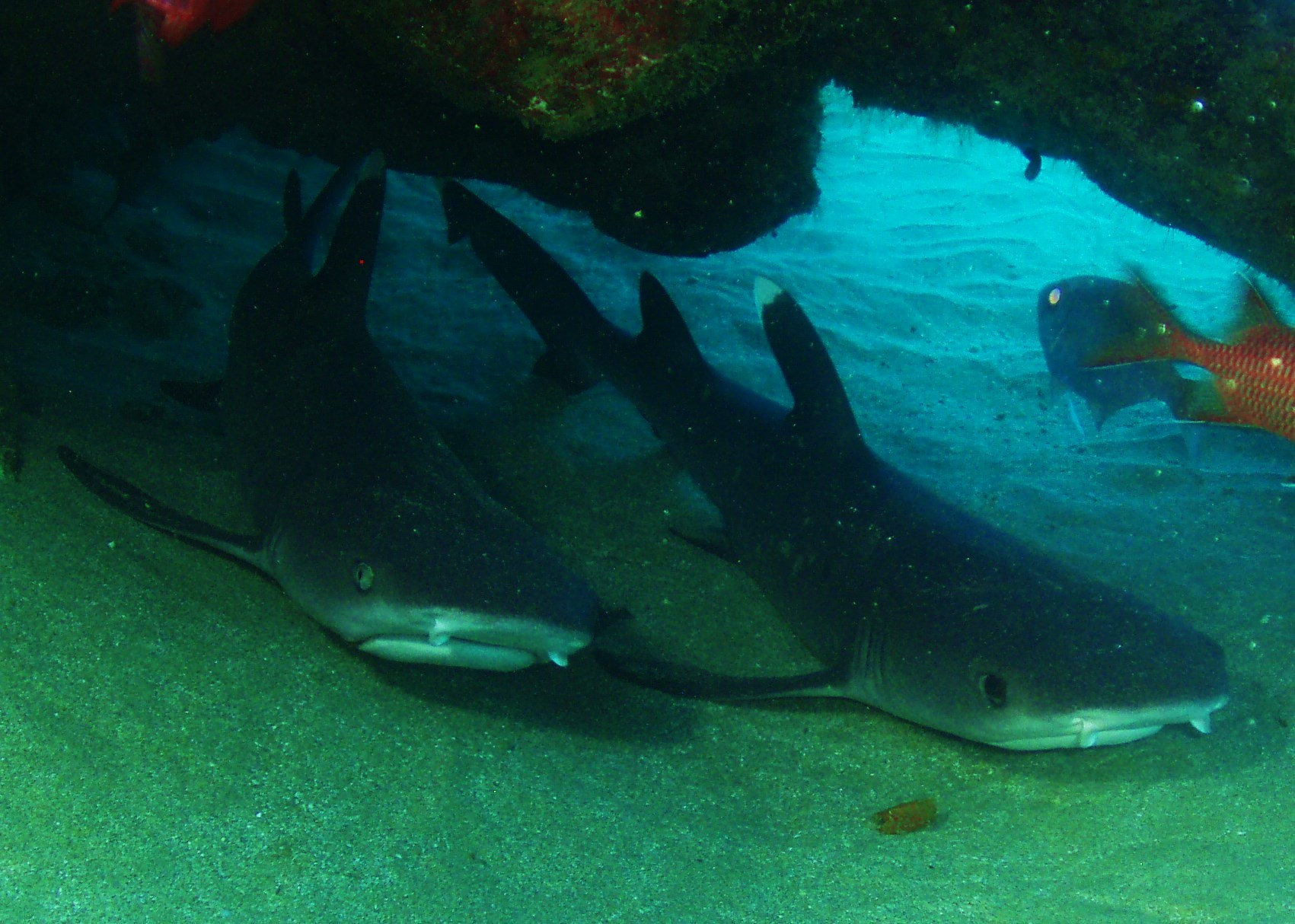 White Tip Reef Sharks …