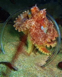Octopus in a cup on a night dive with Tiny Bubbles Scuba