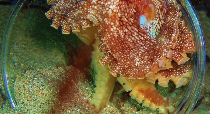 Octopus in cup… Night Divin'