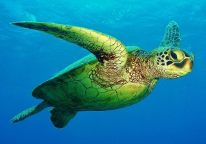 Honu ( Hawaiian Green Sea Turtle