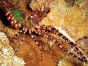 Marbled Shrimp with Tiny Bubbles Scuba at Honokawai Beach, MAUI