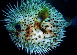 Porcupine Pufferfish with Tiny Bubbles Scuba at Honokawai Beach, MAUI