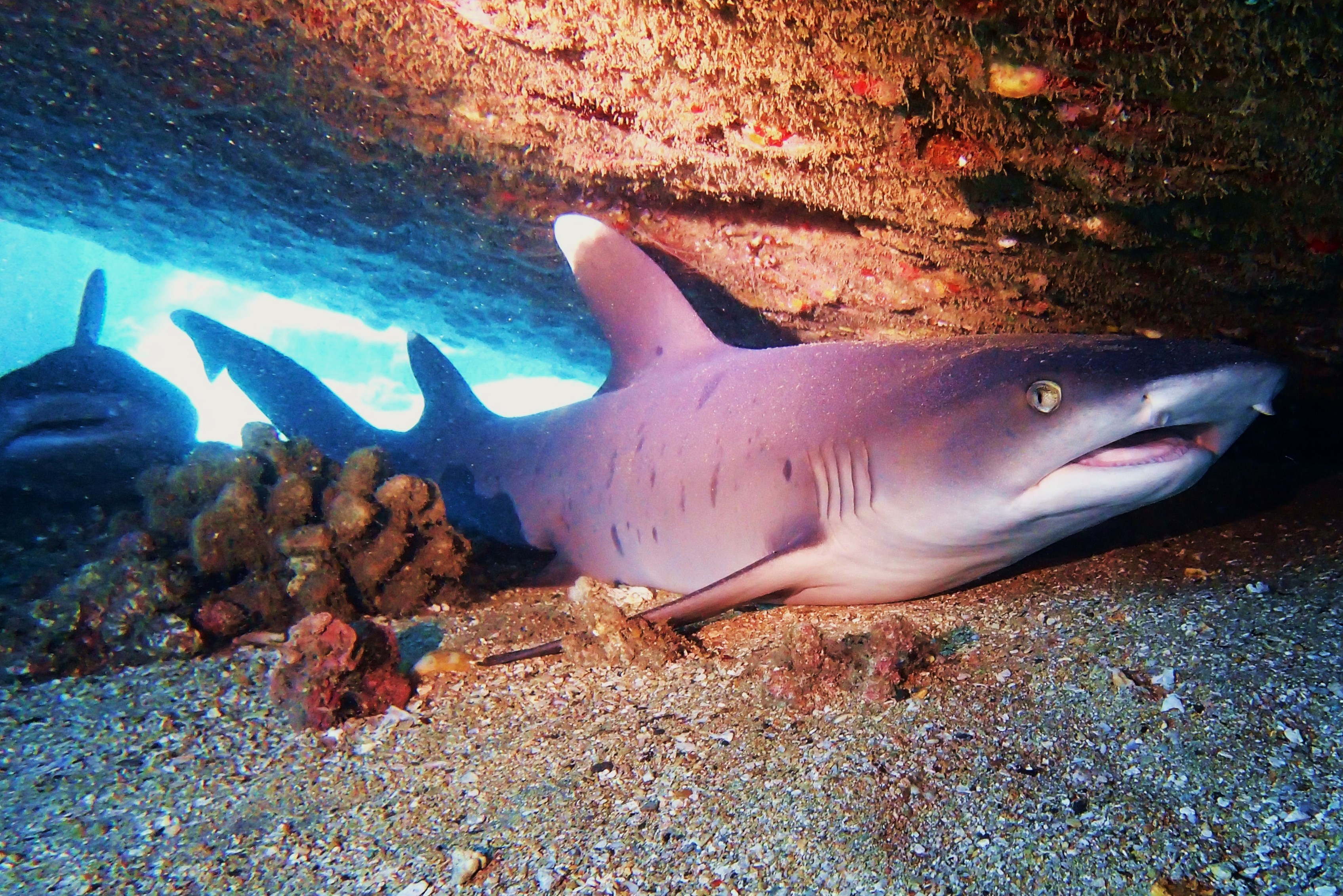 White Tip Reef Sharks at Mala Pier, MAUI