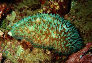 Mushroom Coral at Honokawai Beach, Maui