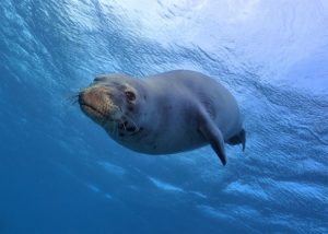 Hawaiian Monk Seal with Tiny Bubbles Scuba
