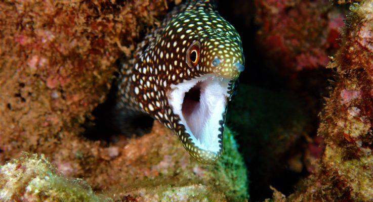 White Mouth Morey Eel