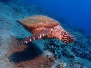 Hawaiian Hawksbill Sea Turtle with Tiny Bubbles Scuba at Honokawai Beach, Maui