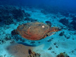 Hawaiian Hawksbill Sea Turtle - BUBBLES