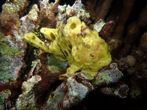 Frogfish - Night Dive with Tiny Bubbles Scuba at Hyatt Reef