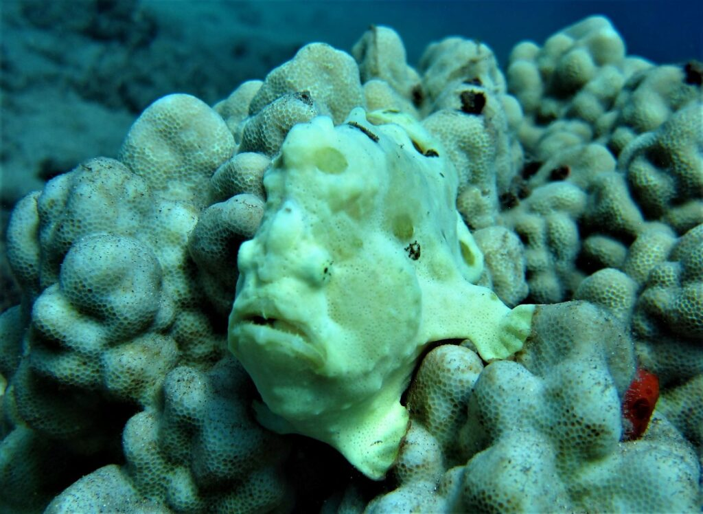 Frogfish at Airport Beach with Tiny Bubbles Scuba
